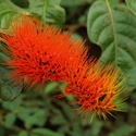 MONKEY BRUSH, COMBRETUM SP, Iwokrama