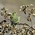 MOUNTAIN PARAKEET, El Yeso