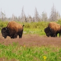 Male Woodland Bison