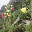 Meconopsis in three colours Balang Shan