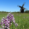 Military Orchid and Windmill, Gotland