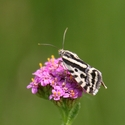 Moth on Yarrow