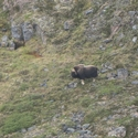Musk Ox from the floatplane