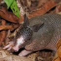 NINE-BANDED ARMADILLO, Playa Nicuesa