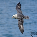 adult Northern Fulmar