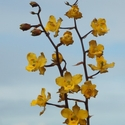 ONCIDIUM SP, Karanambu
