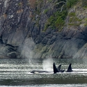 Family group of Orcas, Vancouver Island