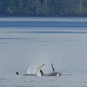 Playful Orcas, Vancouver Island