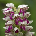 Orchis galilea