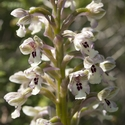 Orchis israealitica, Upper Galillee