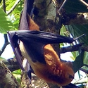 Greater Flying Fox Walindi West New Britain