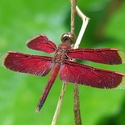 Neurothemis stigmatizans West New Britain