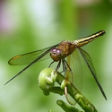 Neurothemis stigmatizans female West New Britain