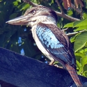 Blue-winged Kookaburra near Loloata PNG