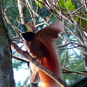 Raggiana Bird of Paradise, New Britain