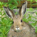 Snowshoe Hare by the hotel cabins