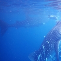 Snorkelling with Whale Sharks, Raja Ampat