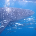 Remoras on Whale Shark, Raja Ampat