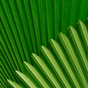 Fan Palm leaves