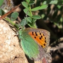 Provence Hairstreak