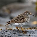 breeding Purple Sandpiper