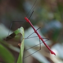 RED STICK INSECT, Pumarinri