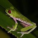 RED-EYED LEAF FROG, Bosque del Cabo