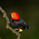 RED-CAPPED MANAKIN, Bosque del Cabo
