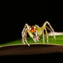 RED-EYED JUMPING SPIDER, Bosque del Cabo