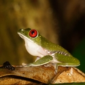 RED-EYED TREE FROG, Bosque del Cabo