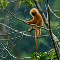 RED-LEAF MONKEY, Danum
