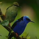 RED-LEGGED HONEYCREEPERS, Laguna Lagartos