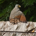 ROADSIDE HAWK SUNBATHING, Bosque del Cabo