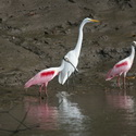 ROSEATE SPOONBILL AND GREAT EGRET, Tempisque