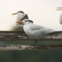 ROYAL TERN, La Ensenada