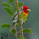 adult male Red-headed Barbet