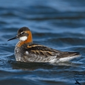 male breeding Red-necked Phalarope