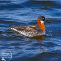 adult breeding female Red-necked Phalarope