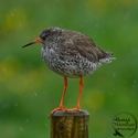adult breeding Redshank