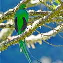 adult male Resplendent Quetzal