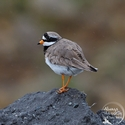 adult breeding Ringed Plover