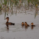 Ringed-necked Duck family