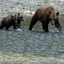 Crossing with cubs