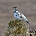 adult breeding male Rock Ptarmigan