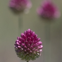Round-headed Leek, Allium sphaericephalon, Pyrenees