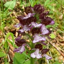 Orchis purpurea (Lady Orchid)