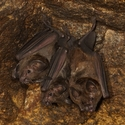 SPEAR-NOSED BATS, Maipama