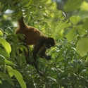 CENTRAL AMERICAN SPIDER MONKEY, Bosque de Paz