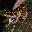 SPOTTED STREAM FROG, Danum Valley