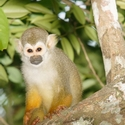 COMMON SQUIRREL MONKEY, Karanambu